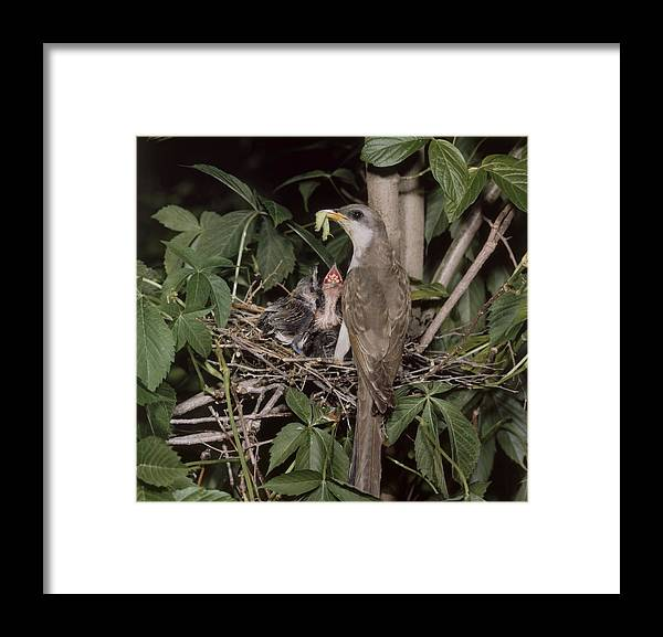 Animal Framed Print featuring the photograph Yellow-billed Cuckoo by G Ronald Austing