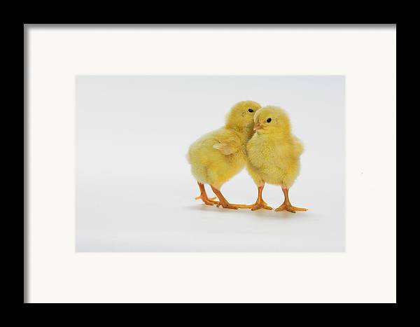 Age Framed Print featuring the photograph Yellow Chicks. Baby Chickens by Thomas Kitchin & Victoria Hurst