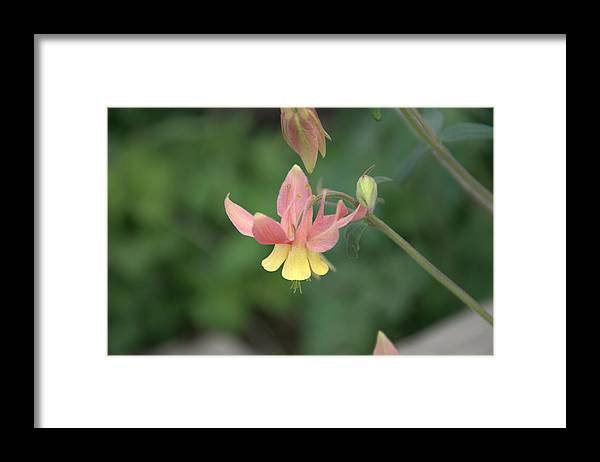 Flower Framed Print featuring the photograph Yellow Columbine by Frank Madia
