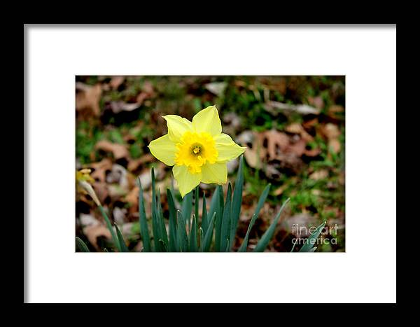 Yellow Daffodil Framed Print featuring the photograph Yellow Daffodil by Kathy White