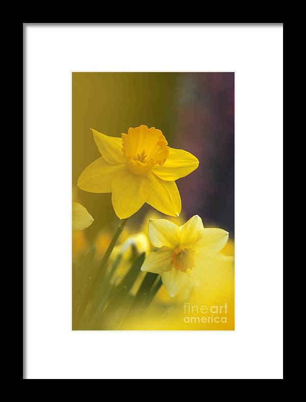 Daffodils. Daffodil Framed Print featuring the photograph Yellow Daffodils by Chris Scroggins