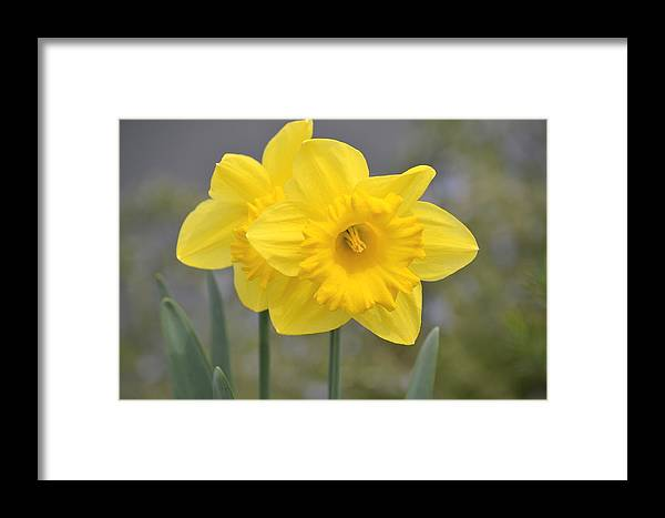 Yellow Framed Print featuring the photograph Yellow Daffodils by P S