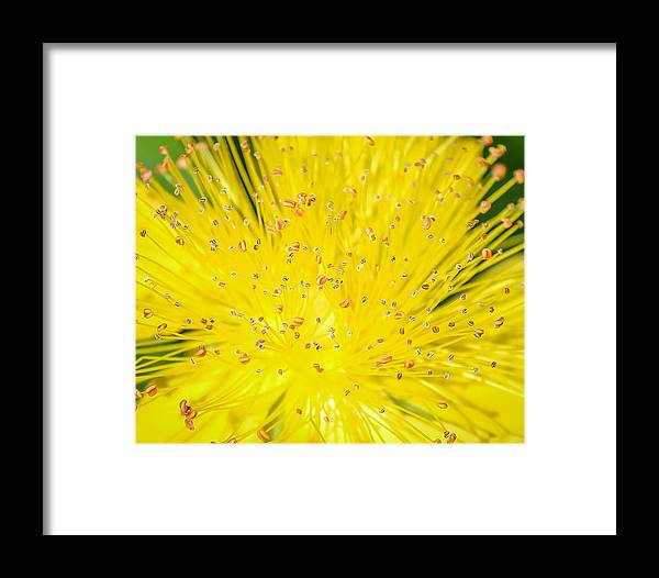 Yellow Framed Print featuring the photograph Yellow Flower by Trace Kittrell