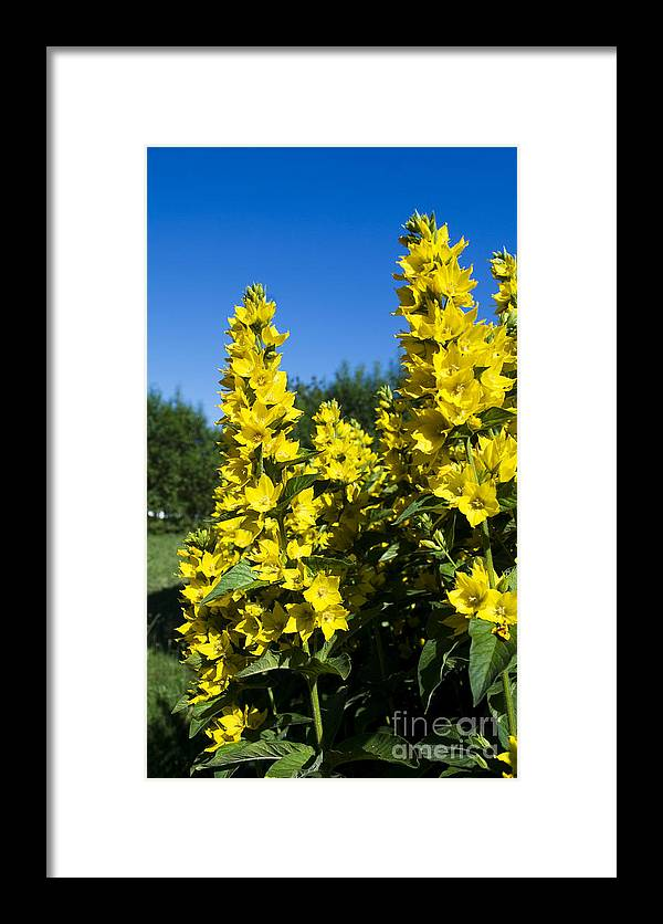 Yellow Framed Print featuring the photograph Yellow Flowers by Sarka Olehlova
