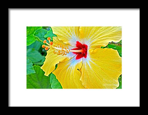 Hibiscus Framed Print featuring the photograph Yellow Hibiscus by Paola Correa de Albury