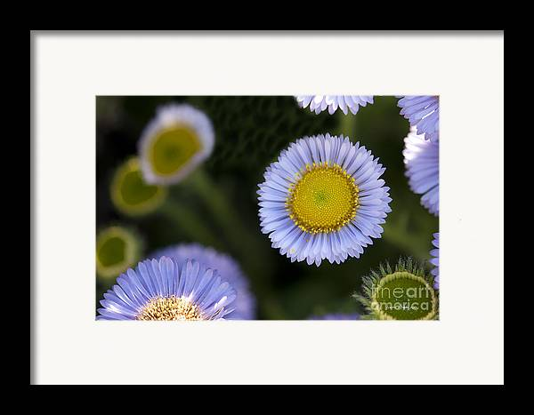 Flowers Framed Print featuring the photograph Yellow In The Middle by Artist and Photographer Laura Wrede