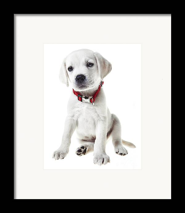 Puppy Framed Print featuring the photograph Yellow Lab Puppy by Diane Diederich