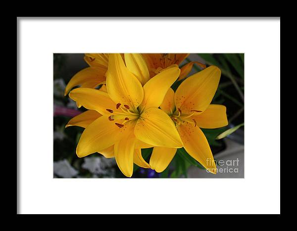 Lilies Framed Print featuring the photograph Yellow Lilies by Terri Maddin-Miller
