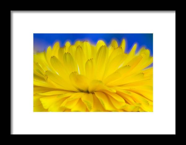 Yellow Flower Framed Print featuring the photograph Yellow Petal Explosion by Greg Nyquist