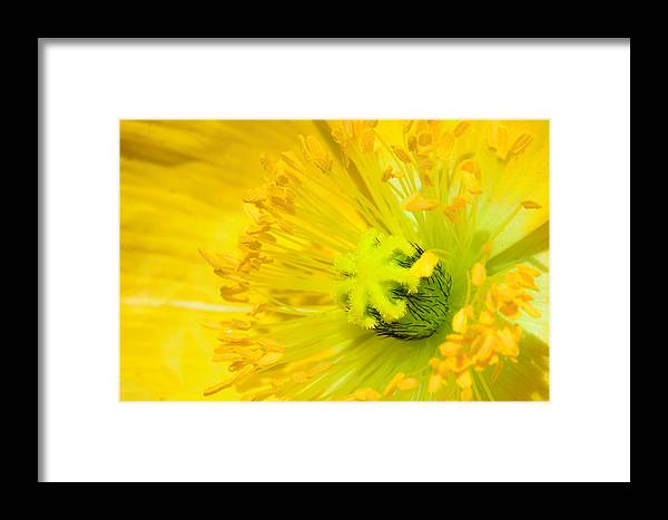 Flower Framed Print featuring the photograph Yellow Poppy by Dheeraj Mallemala