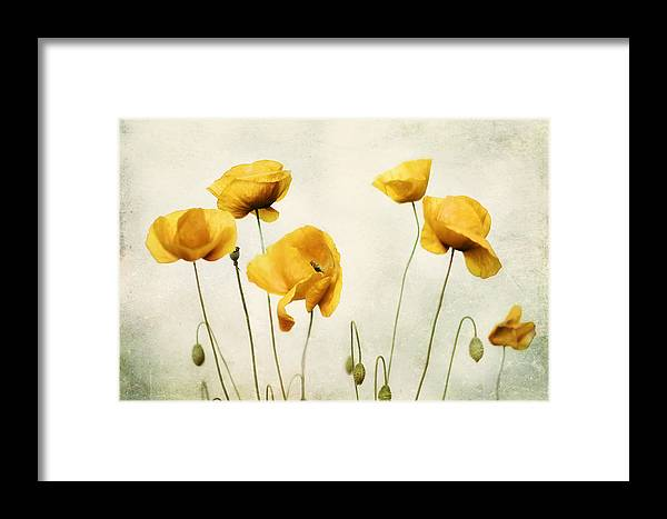 Yellow Poppy Photography - Yellow Poppies - Yellow Flowers - Olive ...