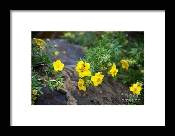 Yellow Flowering Bush Framed Print featuring the photograph Yellow Potentilla Shrub by June Hatleberg Photography