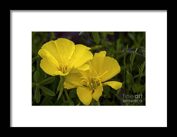 Prairie Mountain Yellow Primrose Wildflowers Wildflower Flower Flowers Texas Spring Framed Print featuring the photograph Yellow Primrose by Bob Phillips