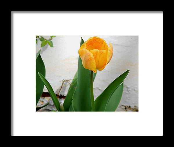 Flowers Framed Print featuring the photograph Yellow Tulip by Aliceann Carlton