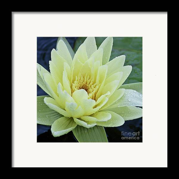 Water Llilies Framed Print featuring the photograph Yellow Water Lily Nymphaea by Heiko Koehrer-Wagner
