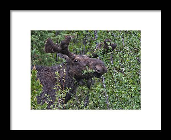 Yellowstone Wildlife Framed Print featuring the photograph Yellowstone Munching Moose by Martin Belan