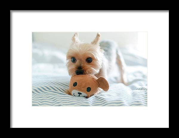 Pets Framed Print featuring the photograph Yorkie Playing With Teddy Toy by Cheryl Chan
