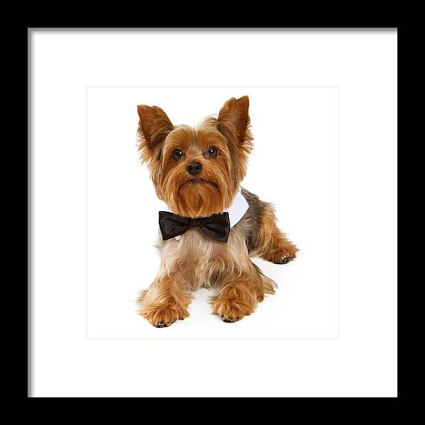 Dog Framed Print featuring the photograph Yorkshire Terrier Dog With Black Tie by Susan Schmitz
