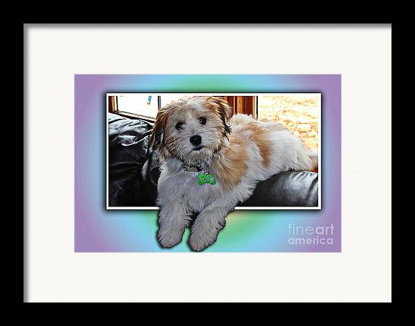 Yoshi Havanese Puppy Framed Print featuring the photograph Yoshi Havanese Puppy by Barbara Griffin