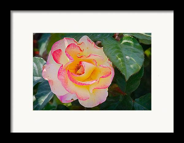 One Framed Print featuring the photograph You Love The Roses - So Do I by Christine Till