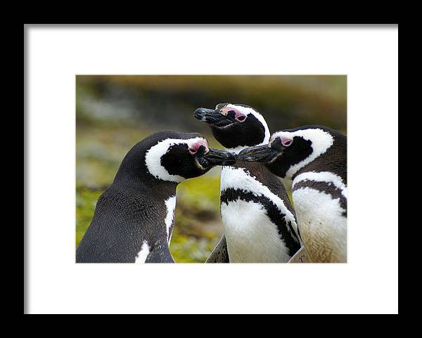 Penguin Framed Print featuring the photograph You may kiss the bride - Penguins by DerekTXFactor Creative