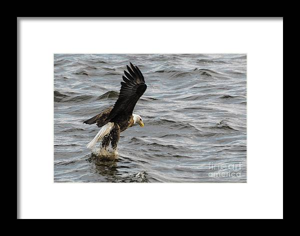 Bald Eagle Framed Print featuring the photograph You Watching This by Robert Smice