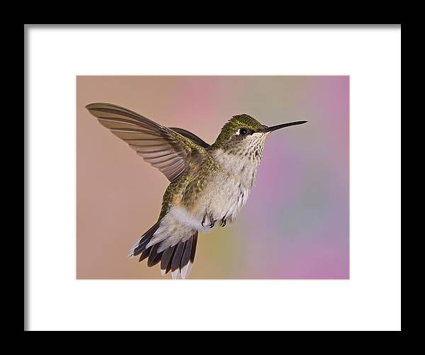 Ruby-throated Hummingbird Framed Print featuring the photograph Young And Sassy 2 by Leda Robertson