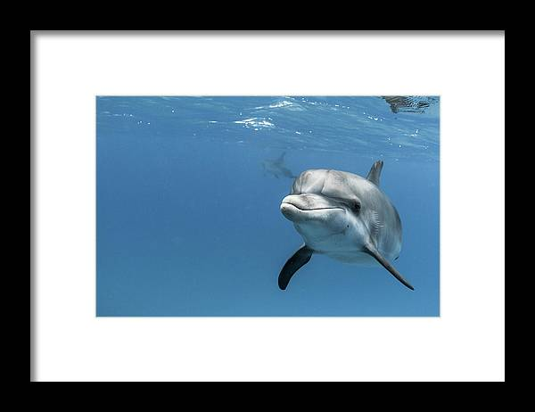 Underwater Framed Print featuring the photograph Young Atlantic Spotted Dolpin by Kerstin Meyer