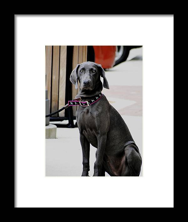 Dog Framed Print featuring the photograph Young Blue Weimaraner by Genia Gartner