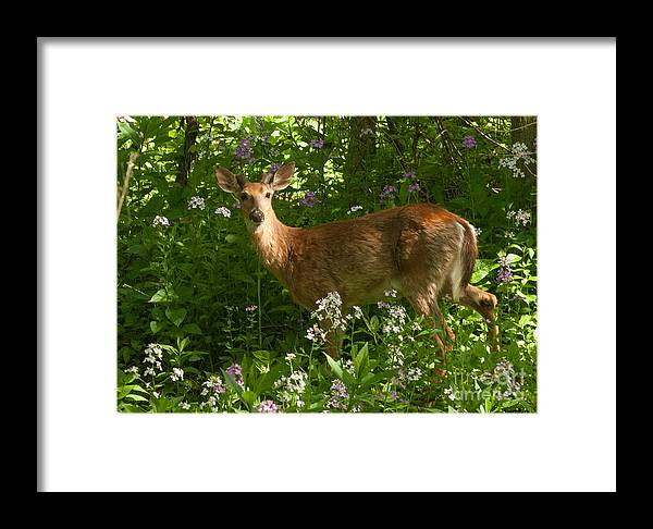 Buck Framed Print featuring the photograph Young Buck by Michael Shake