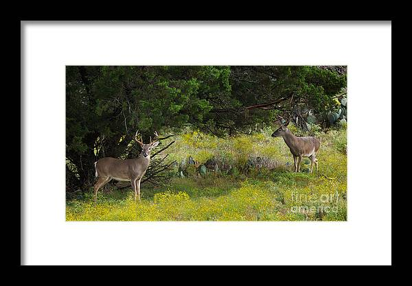 Buck And Tree Framed Print featuring the photograph Young Bucks In The Texas Hill Country by Valerie Johnson