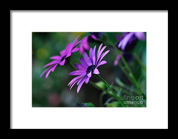Photography Framed Print featuring the photograph Young Daisies by Kaye Menner