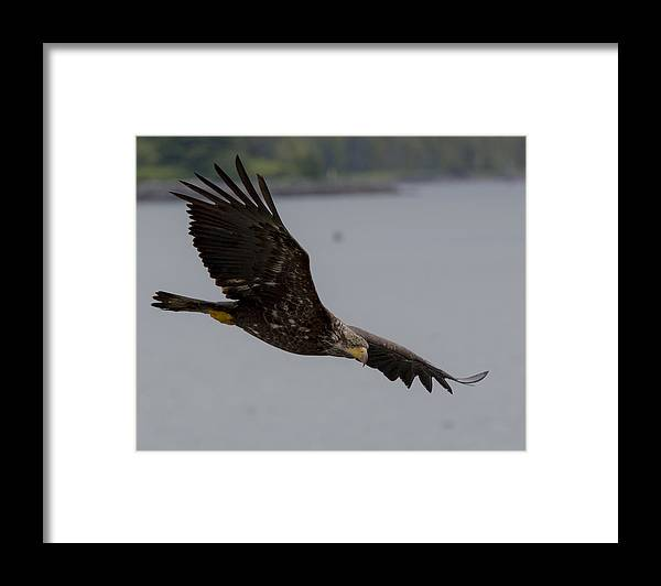 Bald Framed Print featuring the photograph Young Hunter by Mike Taddeo