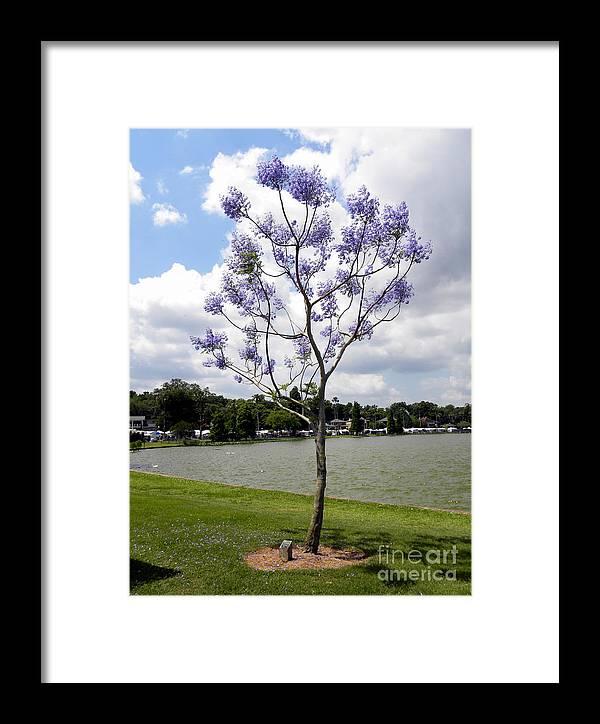 Young Jacaranda Tree Framed Print By Terri Mills