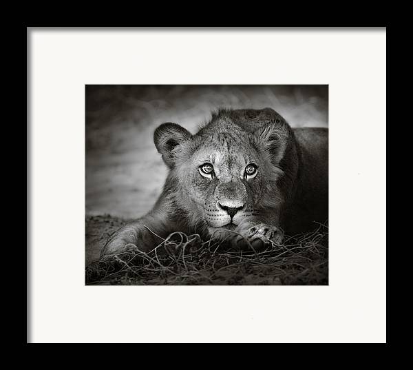 Wild Framed Print featuring the photograph Young Lion Portrait by Johan Swanepoel