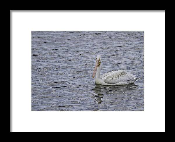 White Pelican Framed Print featuring the photograph Young Pelican by Thomas Young