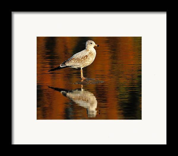Ring-billed Gull Framed Print featuring the photograph Youthful Reflections by Tony Beck