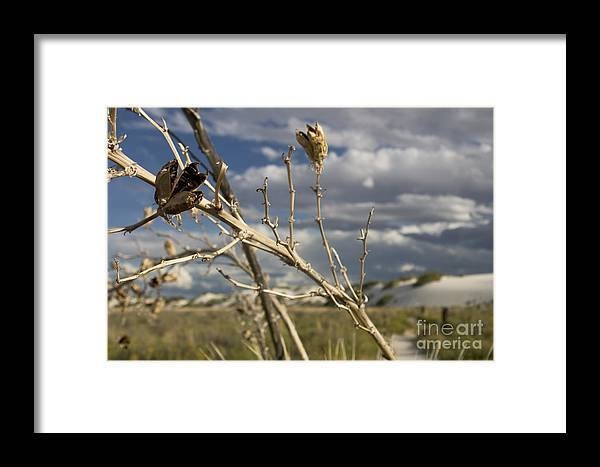 Alamogordo Framed Print featuring the photograph Yucca Pod by Susan See