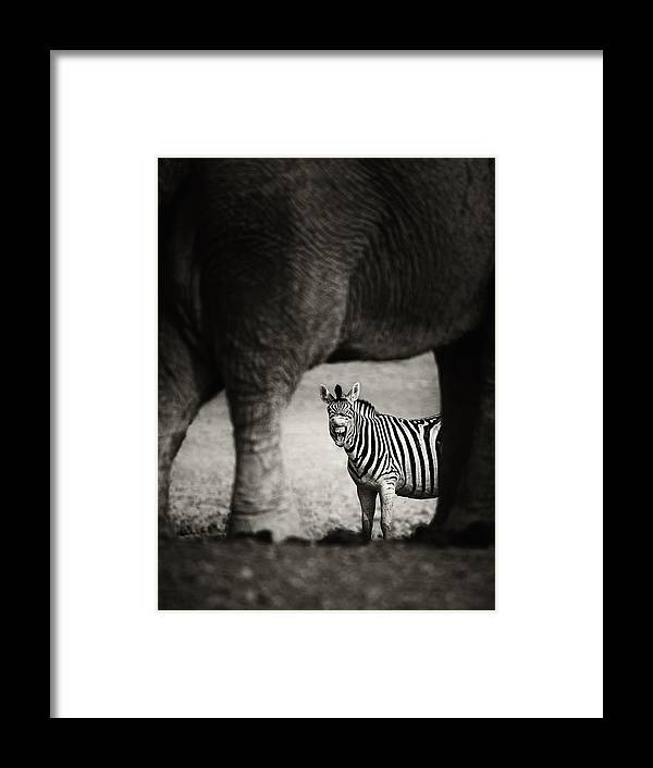Wild Framed Print featuring the photograph Zebra Barking by Johan Swanepoel