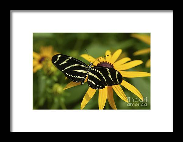 Butterfly Framed Print featuring the photograph Zebra Butterfly by Anthony Sacco