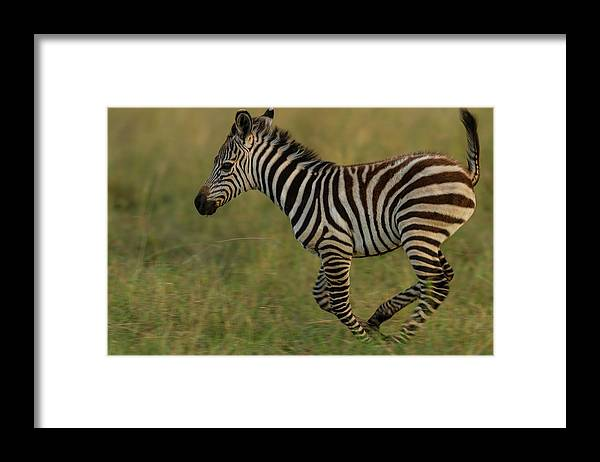 Plains Zebra Framed Print featuring the photograph Zebra Foal Running For Joy by Manoj Shah
