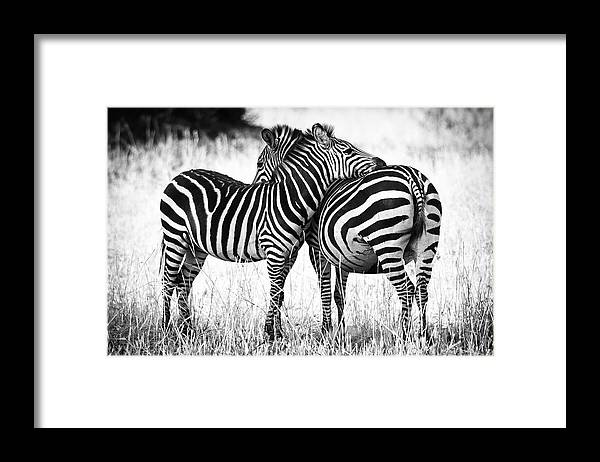 3scape Framed Print featuring the photograph Zebra Love by Adam Romanowicz