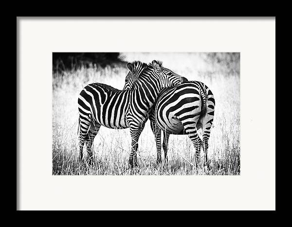 3scape Photos Framed Print featuring the photograph Zebra Love by Adam Romanowicz