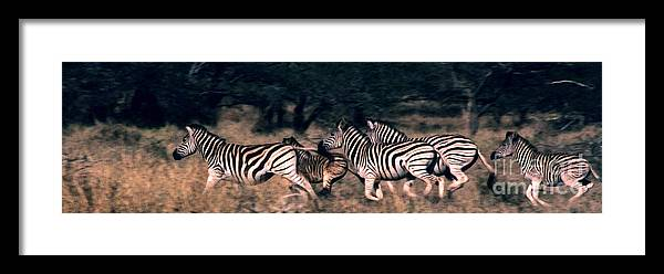Zebras Framed Print featuring the photograph Zebra Stampede by Charlie Russell