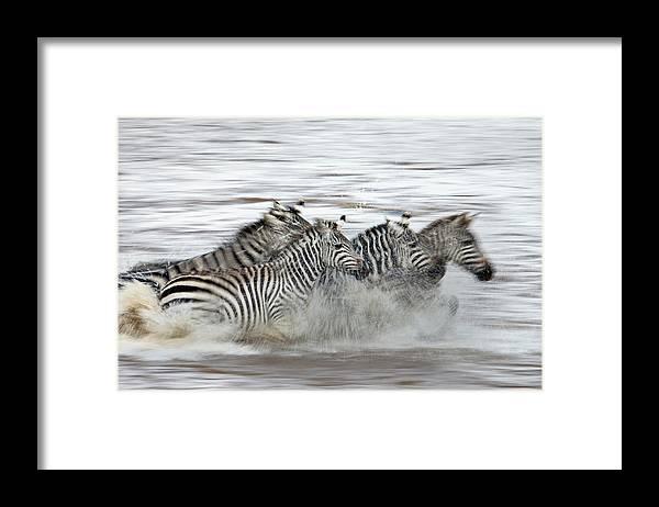 Plains Zebra Framed Print featuring the photograph Zebras Crossing The Mara River by Aditya Singh