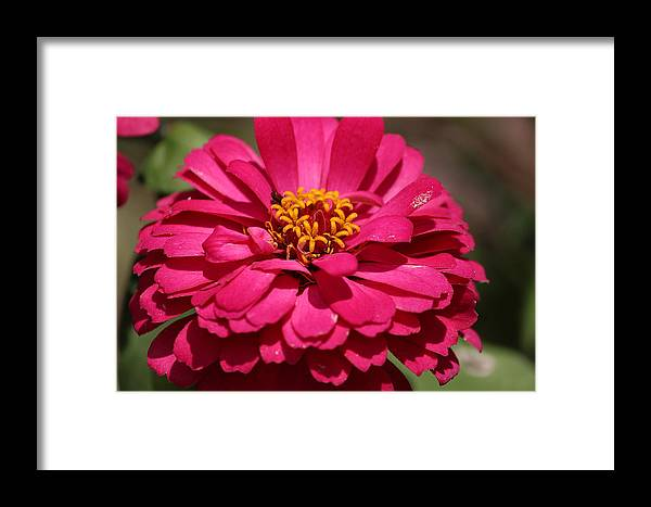 Flower Photographs Framed Print featuring the photograph Zinnia by Ester Rogers