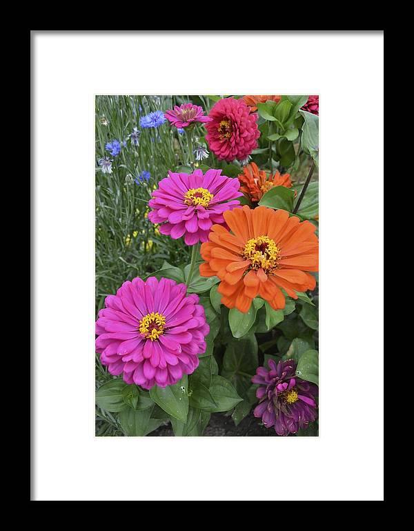 Flower Framed Print featuring the photograph Zinnia Garden by William Hallett