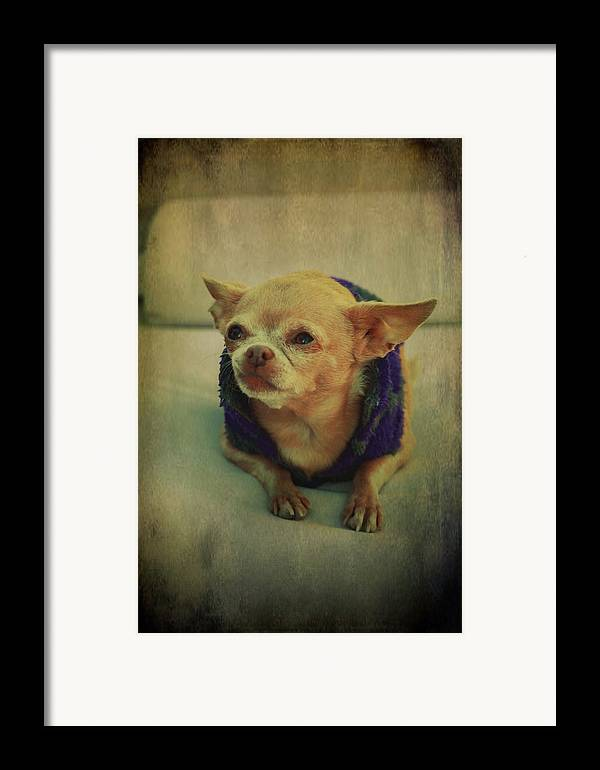 Chihuahuas Framed Print featuring the photograph Zozo by Laurie Search
