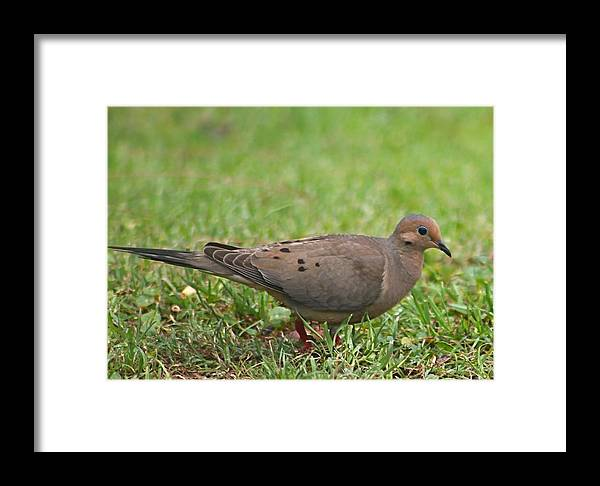 Mourning Dove Framed Print featuring the photograph Backyard Mourning Dove by Jeanne Kay Juhos