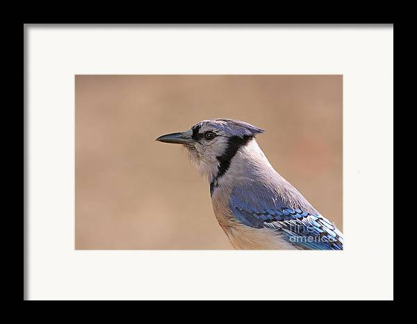Blue Jay Framed Print featuring the pyrography Blue Jay Posing by David Cutts